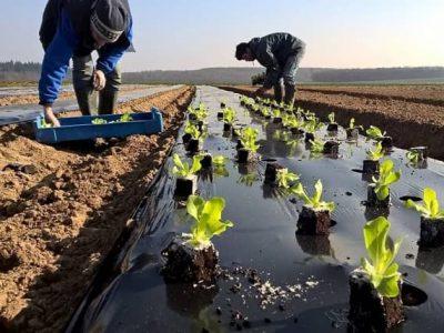 Plantations de salades