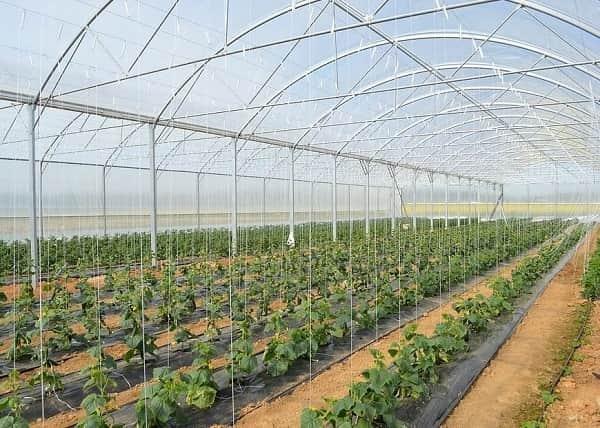 Plantations de tomates sous serres