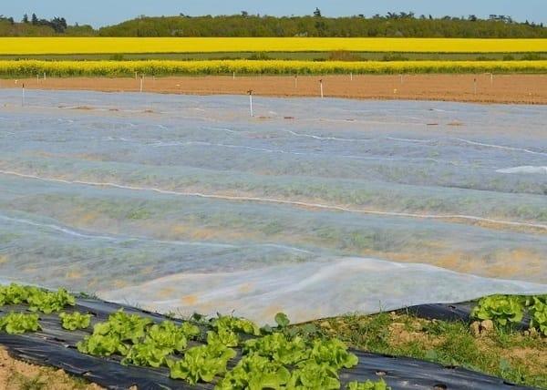 Protection des plantations de salades en hiver